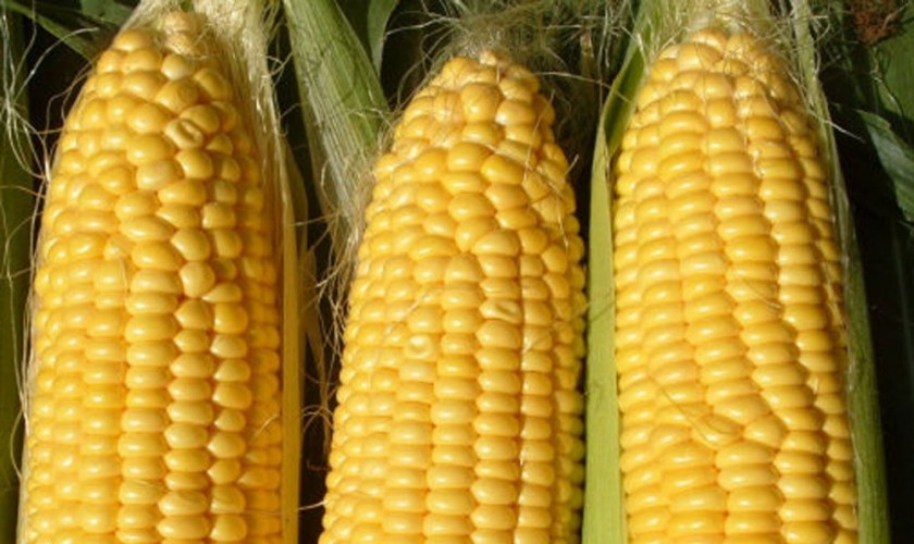 5-bags-vegetable-seeds-sweet-yellow-font-b-corn-b-font-seeds-font-b-organic-b